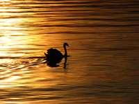 Suisse Montreux Lake Leman Swan