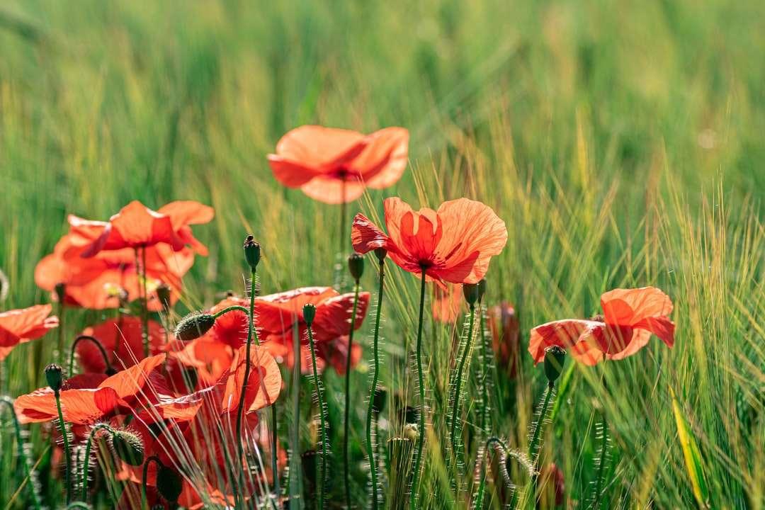оранжево цвете в зелено трева през деня онлайн пъзел