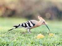 Černobílý pták na zelené trávě během dne