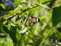 Monarchfalter, der auf grünem Blatt gehockt wurde