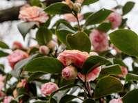 Różowe róże w rozkwicie w ciągu dnia