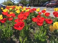 Jaro ve městě tulipány