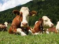 Vaches sur le pré