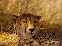 Cheetah sur le champ d'herbe brune pendant la journée