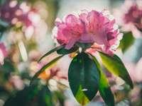 Ροζ λουλούδι με πράσινα φύλλα