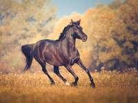 Cheval arabique noir