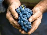 Ręka trzyma świeżą wiązkę winogron