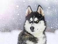 Husky com olhos coloridos durante a queda de neve