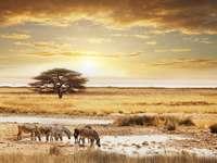 Зебри на Савана