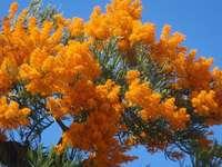 Blooming tree in Australia