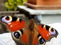 fluturii au vedere