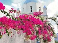 Bougainvilla - Aucvent keř v Řecku