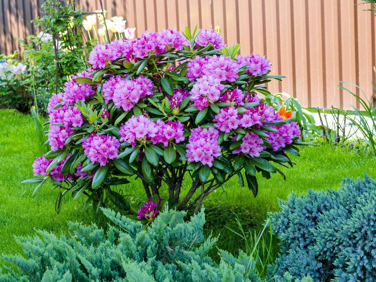 Rhododendron kvetoucí bush.