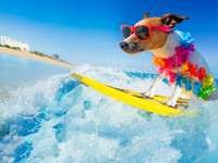 Jack Russell dog surfing