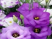 Flowers purple jigsaw puzzle