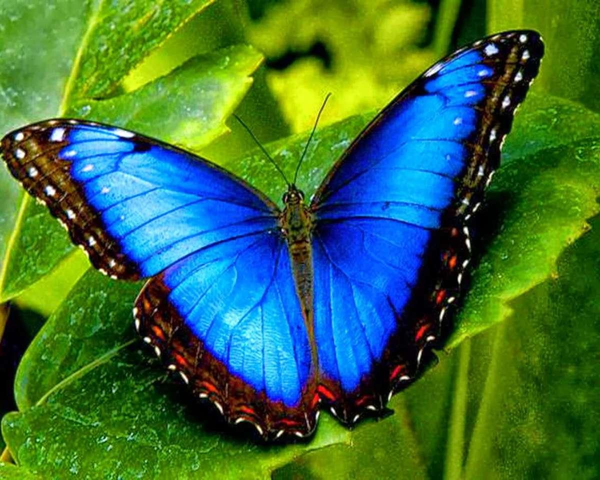 Farfalla rara blu puzzle