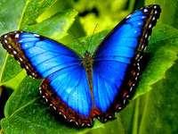 Niebieski rzadki motyl puzzle