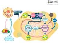 Metabolisme stappen