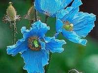 modrý mák