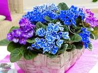 Violette africane colorate