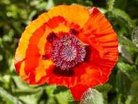 Ein roter Mohn wächst bei strahlendem Sonnenschein in einem Garten. Online-Puzzle